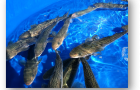 Juvenile sablefish in tanks at the NOAA Manchester Research Station.