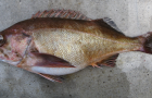 Widow rockfish. Credit: NOAA Fisheries, At-Sea Hake Observer Program