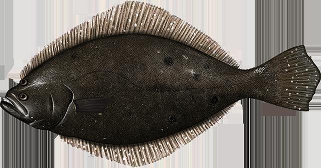 Illustration of a Summer Flounder