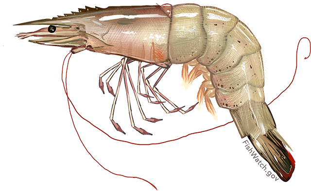 Illustration of a White Shrimp