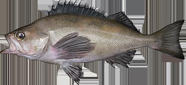 Illustration of a Widow Rockfish