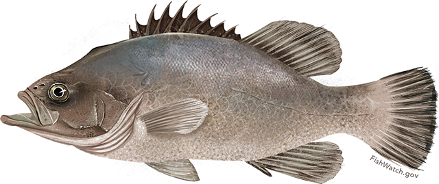 Illustration of a Wreckfish