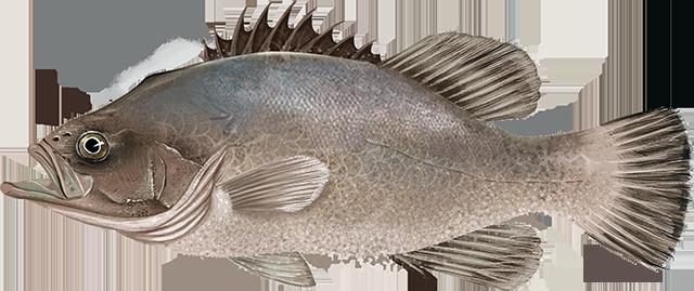 Illustration of a Wreckfish