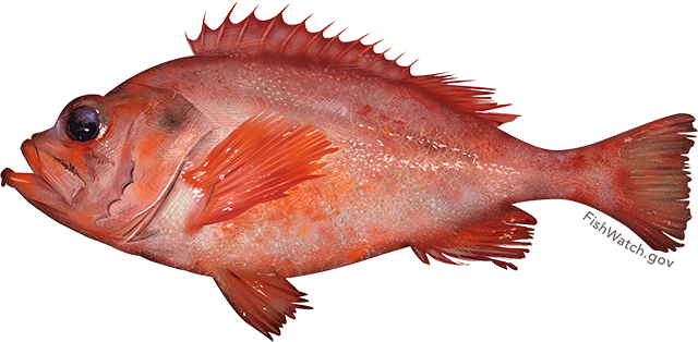 Illustration of an Acadian Redfish