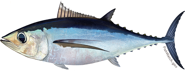 Illustration of a North Atlantic Albacore Tuna