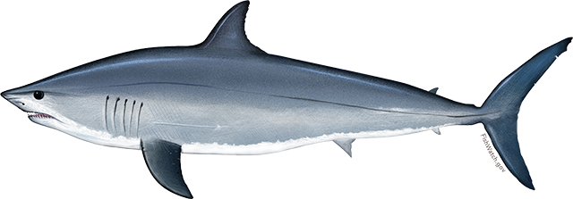 Illustration of a Pacific Shortfin Mako Shark