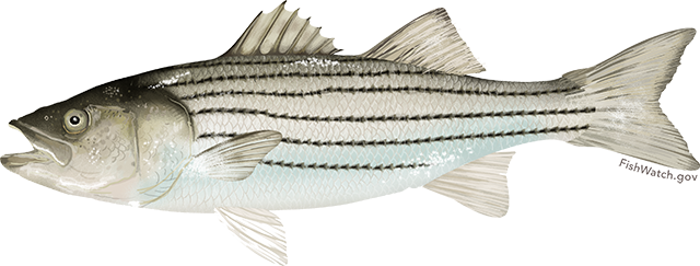Illustration of an Atlantic Striped Bass
