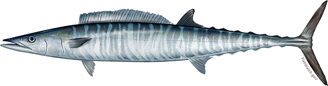Illustration of an Atlantic Wahoo