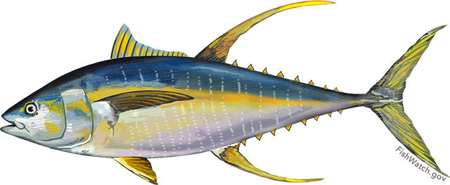 Illustration of an Atlantic Yellowfin Tuna