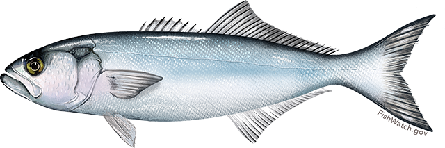 Illustration of a Bluefish