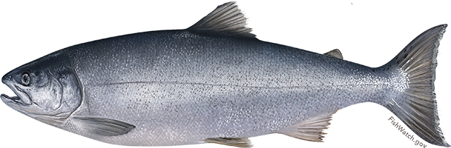 Illustration of a Coho Salmon