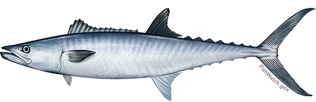 Illustration of a King Mackerel