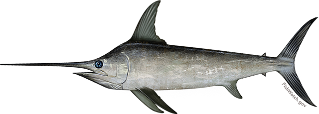 Illustration of a North Atlantic Swordfish