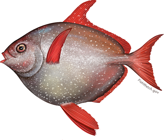 Illustration of an Opah