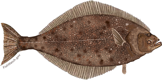 Illustration of a Pacific Halibut