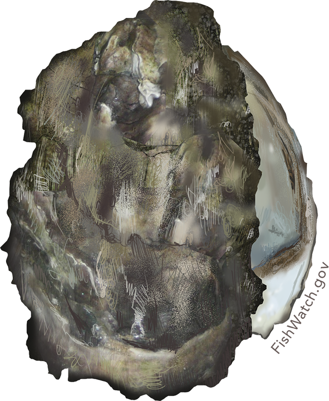 Illustration of a Pacific Oyster