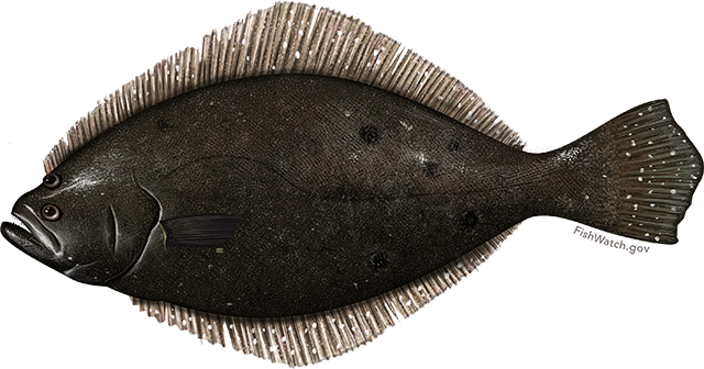 Illustration of a Summer Flounder